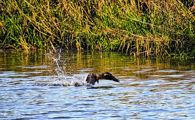 Animals Photos - Splashing start Cormorant beginning to fly from water in creek of Enkoeping Enkoping Swe by Leif Sohlman
