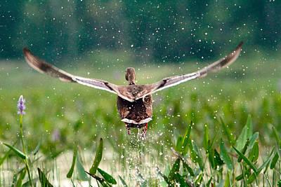 Splashy Photograph - Splashy Take-off by Shell Ette