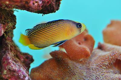 Photograph - Splendid Dottyback by Puzzles Shum