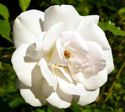 Photograph - Splendid Iceberg Rose by Will Borden