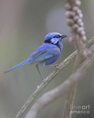 Photograph - Splendid Wren 2 by Serene Maisey