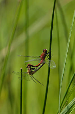 Dragonfly Photograph - Splendor In The Grass by Susan Capuano