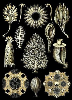 Haeckel Digital Art - Sponges Sea Sponge Haeckel Calcispongiae Porifera by Movie Poster Prints
