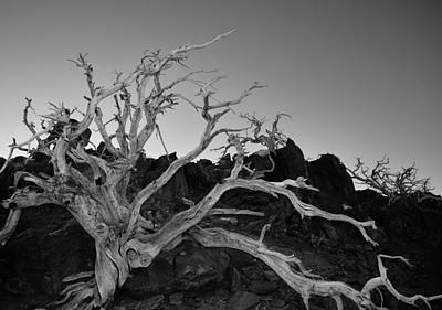 Mount Baldy Photograph - Spooky Tree At Mt Baldy by David Lobos