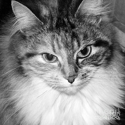 Photograph - Spooleete. Cat Portrait In Black And White. by Ausra Huntington nee Paulauskaite