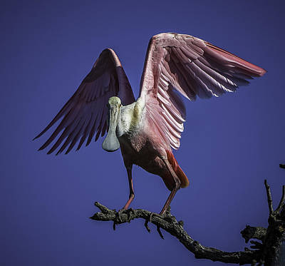 Photograph - Spoonbill Balancing Act by Donald Brown