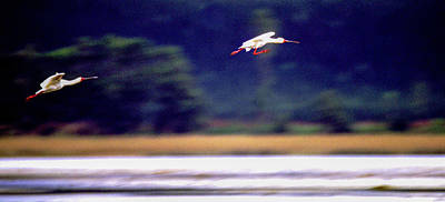Photograph - Spoonbill Blur by Alistair Lyne