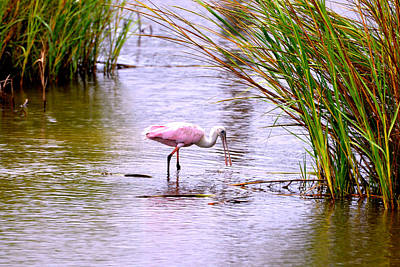 Photograph - Spoonbill Feeding by Marilyn Holkham