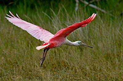 Photograph - Spoonbill Flight by Ira Runyan