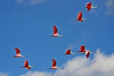 Photograph - Spoonbill Flyby by Ira Runyan