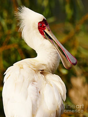 Photograph - Spoonbill In A Tree by Nick  Biemans