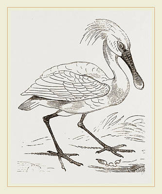 Spoonbill Drawing - Spoonbill by Litz Collection