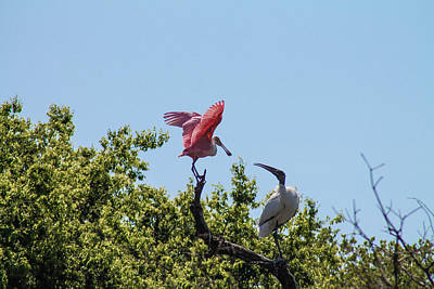 Photograph - Spoonbill Vs Wood Stork by Jessica Brown