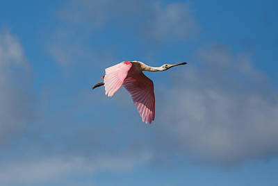 Art Print featuring the photograph Spoonie In Flight by John M Bailey