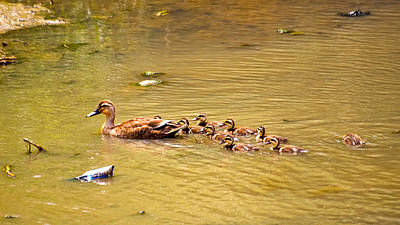 Spot Billed Ducks Family Original by John Seung-Hwan Shin