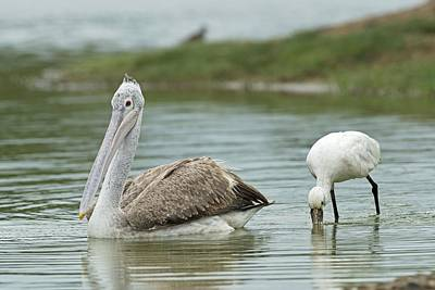 Spoonbill Photograph - Spot-billed Pelican & Eurasian Spoonbill by Tony Camacho