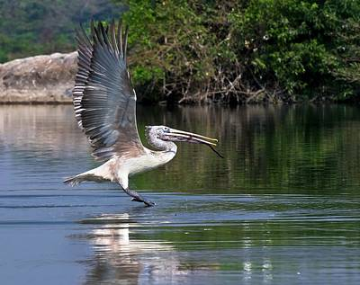 Spot-billed Pelican Taking Off Art Print
