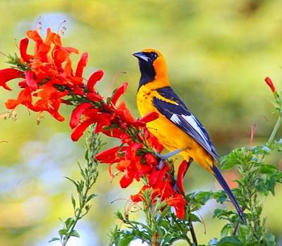 Photograph - Spot Breasted Oriole And Flower. by Dart and Suze Humeston