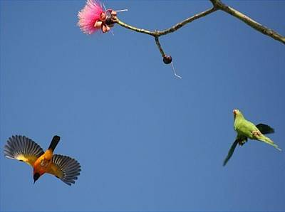 Photograph - Spot Breasted Oriole And Wing Winged Parakeet by Dart and Suze Humeston