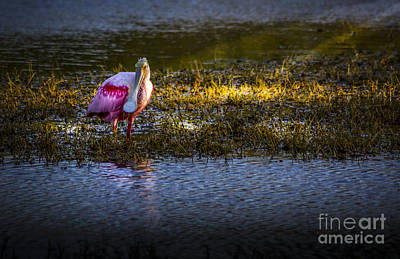 Spoonbill Wall Art - Photograph - Spotlight by Marvin Spates