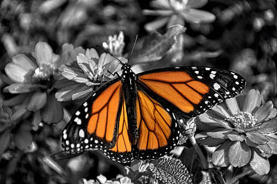 Photograph - Spotlight Monarch by Penny Lisowski