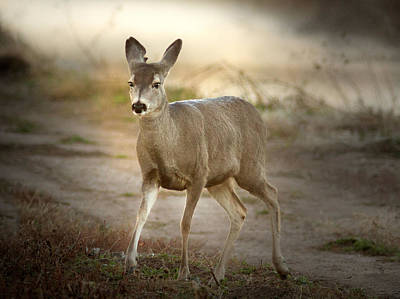 Photograph - Spotlighted Mule Deer by Jean Noren