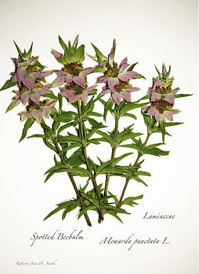 Spotted Beebalm 1 Art Print