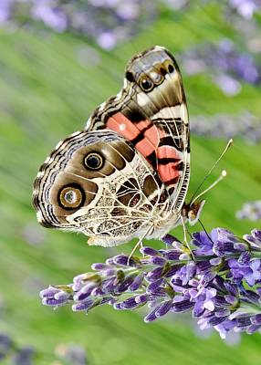 Photograph - Spotted Butterfly by Kim Bemis