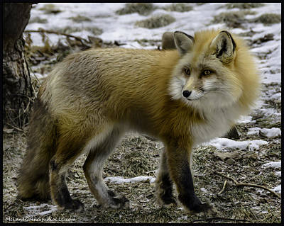 Tail Photograph - Spotted By A Red Fox by LeeAnn McLaneGoetz McLaneGoetzStudioLLCcom