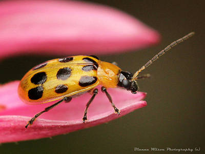 Cucumber Beetle Photograph - Spotted Cucumber Beetle by Dianna Wilson