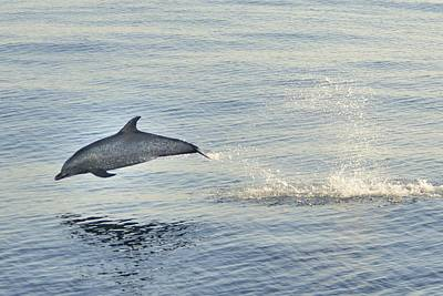 Photograph - Spotted Dolphin Leaping by Bradford Martin