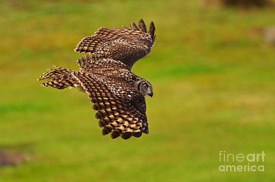 Photograph - Spotted Eagle Owl In Flight by Nick  Biemans