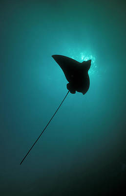 Spotted Eagle Ray Photograph - Spotted Eagle Ray Silhouetted by Steve Jones