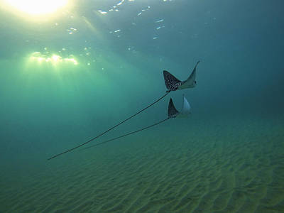 Spotted Eagle Ray Photograph - Spotted Eagle Rays During Sunset by Brad Scott
