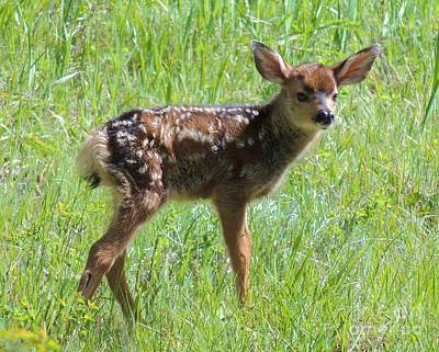 Photograph - Spotted Fawn  by Michele Penner