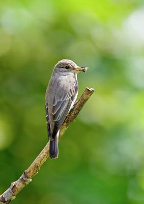 Spotted Flycatcher Art Print