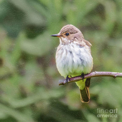 Digital Art - Spotted Flycatcher by Liz Leyden