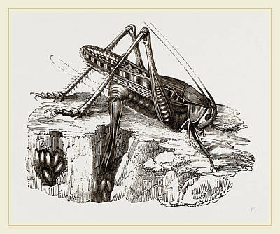 Grasshopper Drawing - Spotted Grasshopper And Eggs by Litz Collection