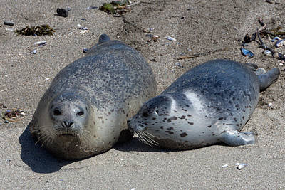 Phoca Vitulina Photograph - Spotted Harbor Seals On The Beach by Kathleen Bishop