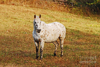 Photograph - Spotted Horse by Mary Carol Story