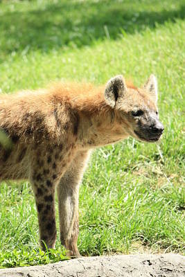 Photograph - Spotted Hyena by Mandy Shupp