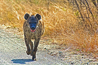 African Wild Dog Running Down A Road IIn Kruger National Park-south Africa  Original by Ruth Hager
