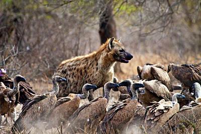 Carcass Photograph - Spotted Hyenas (crocuta Crocuta by Miva Stock