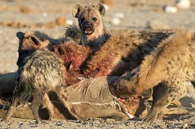 Carcass Photograph - Spotted Hyenas Feeding On A Kudu by Tony Camacho