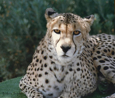 Thomas Kinkade Rights Managed Images - Spotted Leopard Royalty-Free Image by Barbara Snyder