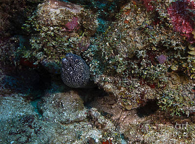 Photograph - Spotted Moray Eel by JT Lewis