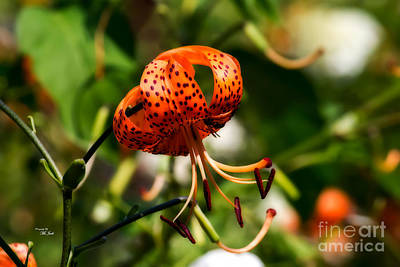 Photograph - Spotted Orange Lily by Ms Judi