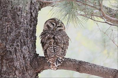 Photograph - Spotted Owl by Daniel Behm