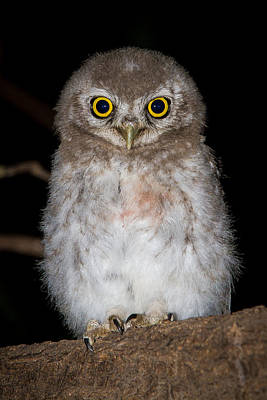 Photograph - Spotted Owlet by Brad Grove