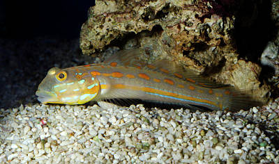 Prawn Photograph - Spotted Prawn Goby Or Orange Spotted Goby by Nigel Downer